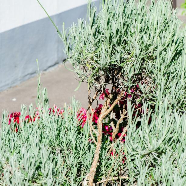 La Cité florale - laventelikateus